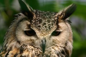 Owl in deep thought