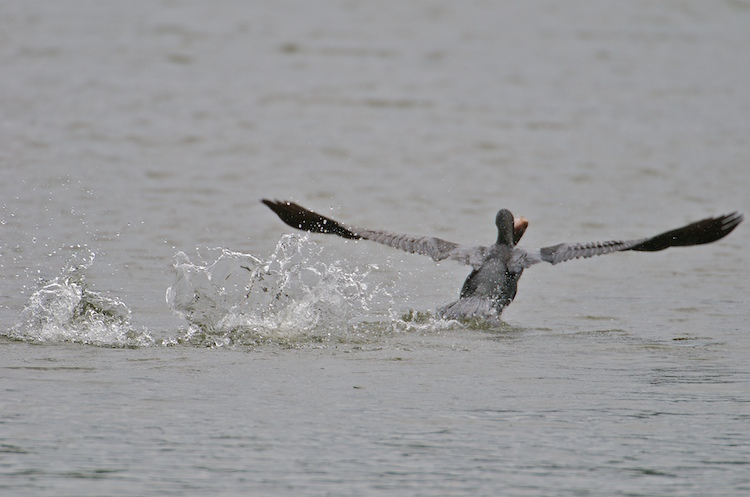 How a bird tries to drown a fish